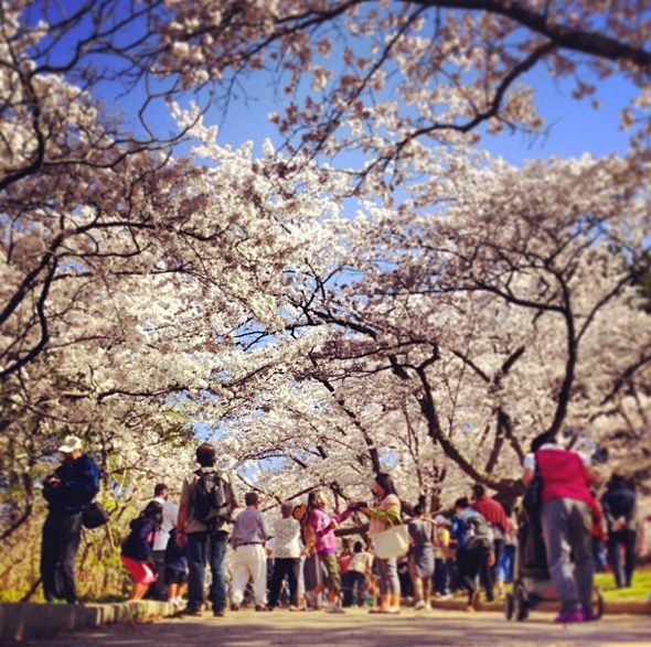 High Park cherry blossom fever hits Toronto for 2013