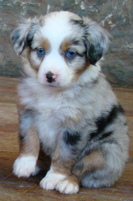 This is my dream dog! Mini Australian Shepherd puppy!