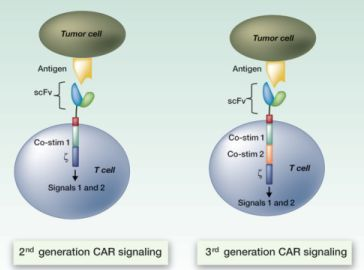 CAR T-cell CD19 study: Illustration of the components of second- and third-generation chimeric antigen receptor T cells. A cure for A.L.L.?