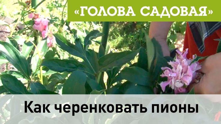 Голова садовая -Как черенковать пионы