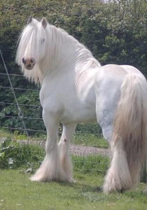 Pure white Gypsy horse