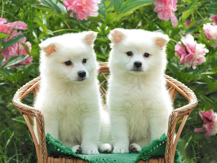 Best 25 Perritos monos ideas on Pinterest  Cachorros muy lindo