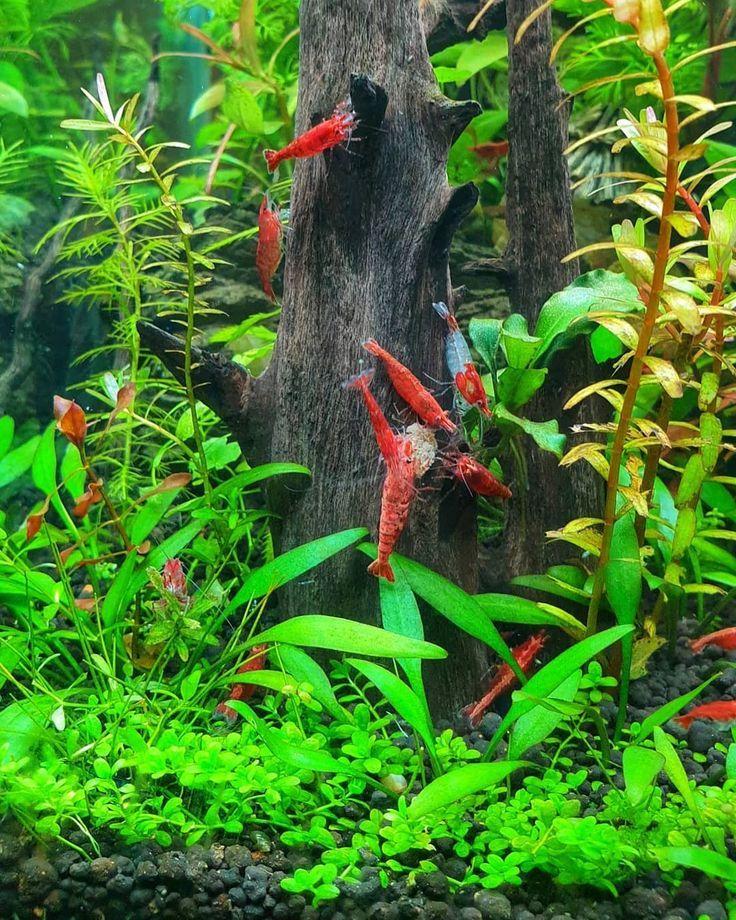 Shrimp Tank In 2020 Shrimp Tank Planted Aquarium Betta Fish