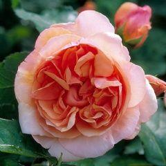 Ellen - David Austin Roses