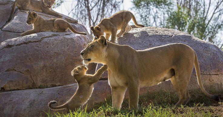 lion cubs wallpaper hd 4k ultra hd wallpaper