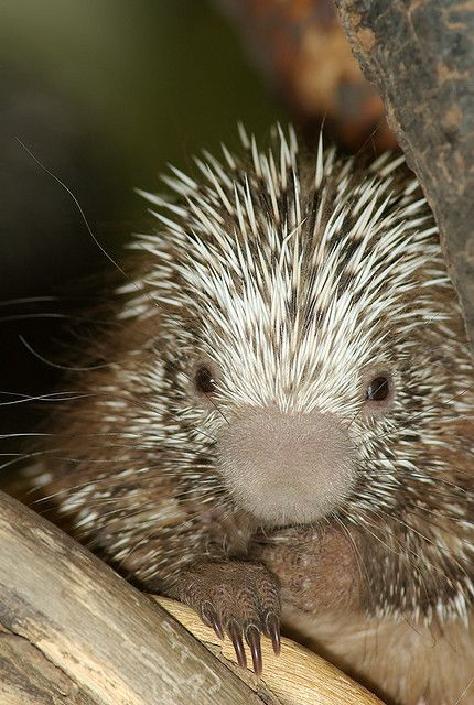Porcupettes (baby porcupines) are born with soft quills than harden within several days.