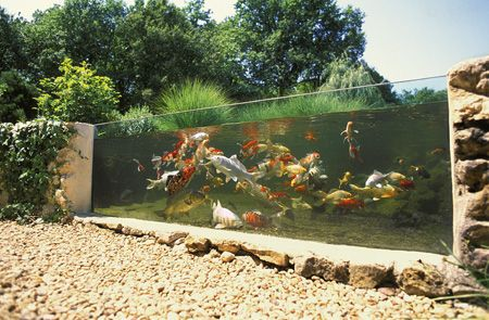 Glass side of a koi pond
