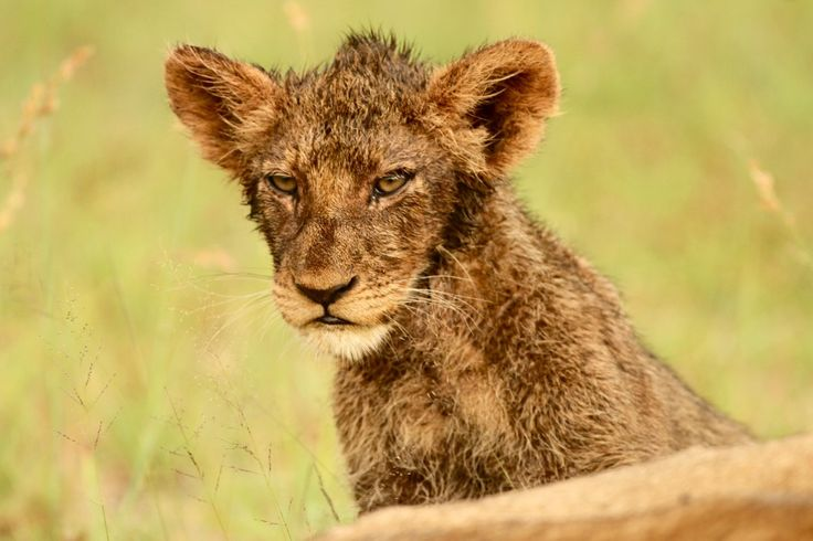 Lion cub, still full of blood after eating on a buffalo