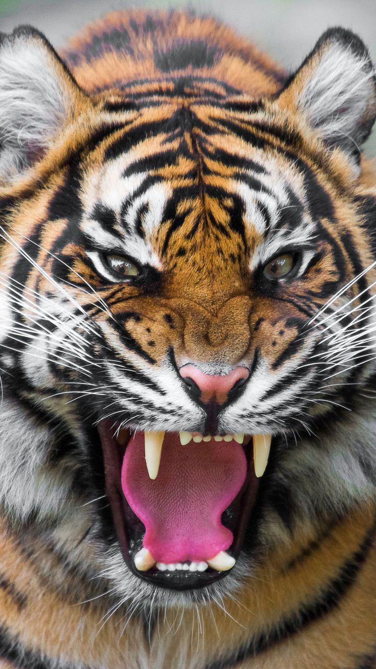 tiger, predator, teeth, anger, aggression