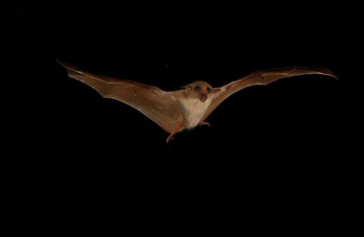 chauve-souris Cette chauve-souris, qui évolue en Australie, passe d'une température corporelle de 36 °C la nuit à 20 °C la journée.