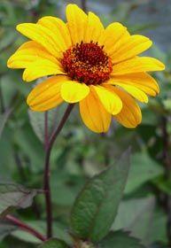 Heliopsis helianthoides var. scabra 'Summer Nights' - Einfaches Sonnenauge