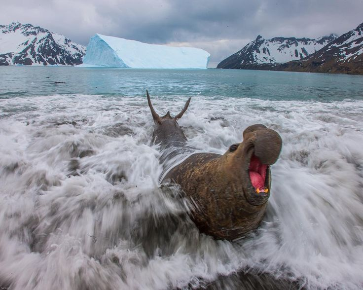 Photograph by @paulnicklen // A huge male elephant seal arrives at South Georgia, Antarctica after a long migration.  He is here for the breeding season and announces his arrival with a loud, roaring bellow to all of the females and other males resting on beach.  It is an exciting time of year in the Southern Seas and truly one of my favorite places on this great planet.  #followme on @paulnicklen to see what this beach looks like when it is wall to wall elephant seals and king penguins…