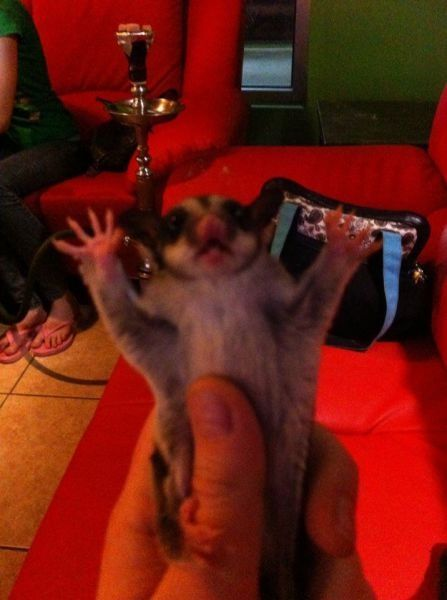 shocked sugar glider