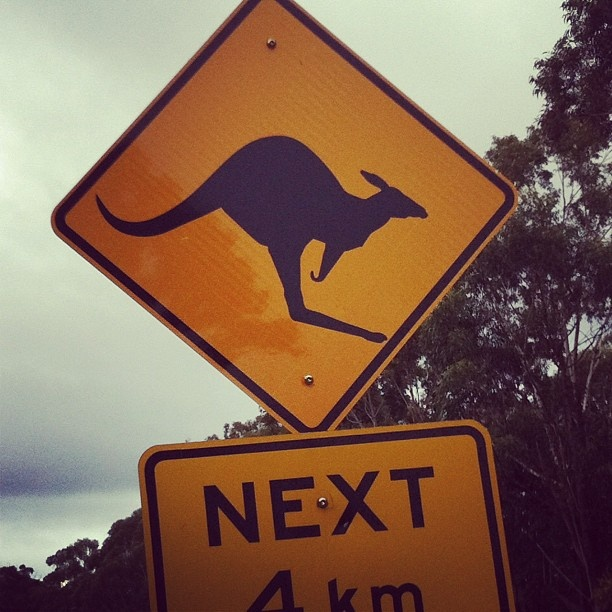 Be on the look out for kangaroos