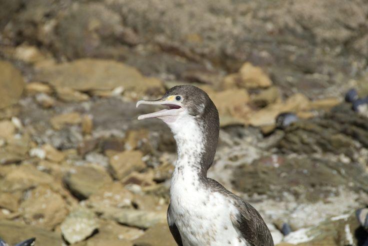Cormorant or Shag