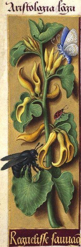 Reguelisse sauvage - Aristologia longa (Aristolochia Clematitis L. = aristoloche, sarrasine) -- Grandes Heures d'Anne de Bretagne, BNF, Ms Latin 9474, 1503-1508, f°136v
