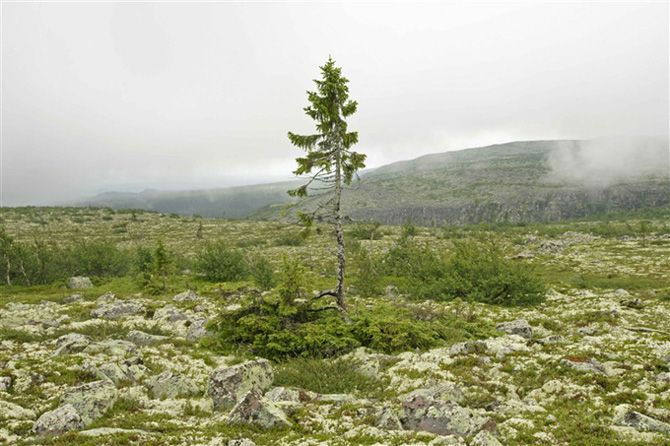 """Old Tjikko"" is an ancient tree dated to be 9,550 years old. Ohhh! She is the oldest single stemmed conal tree. The seed took root shortly after the ice age. This thrills me.Astonishing!"