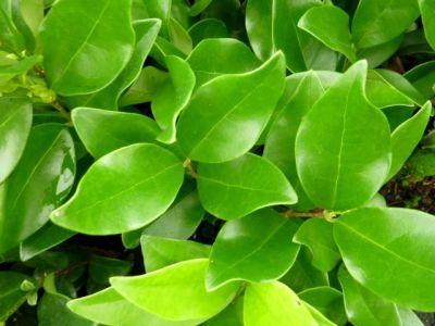 Ligustrum japonicum Texanum Troène du Texas sur le Mur Végétal