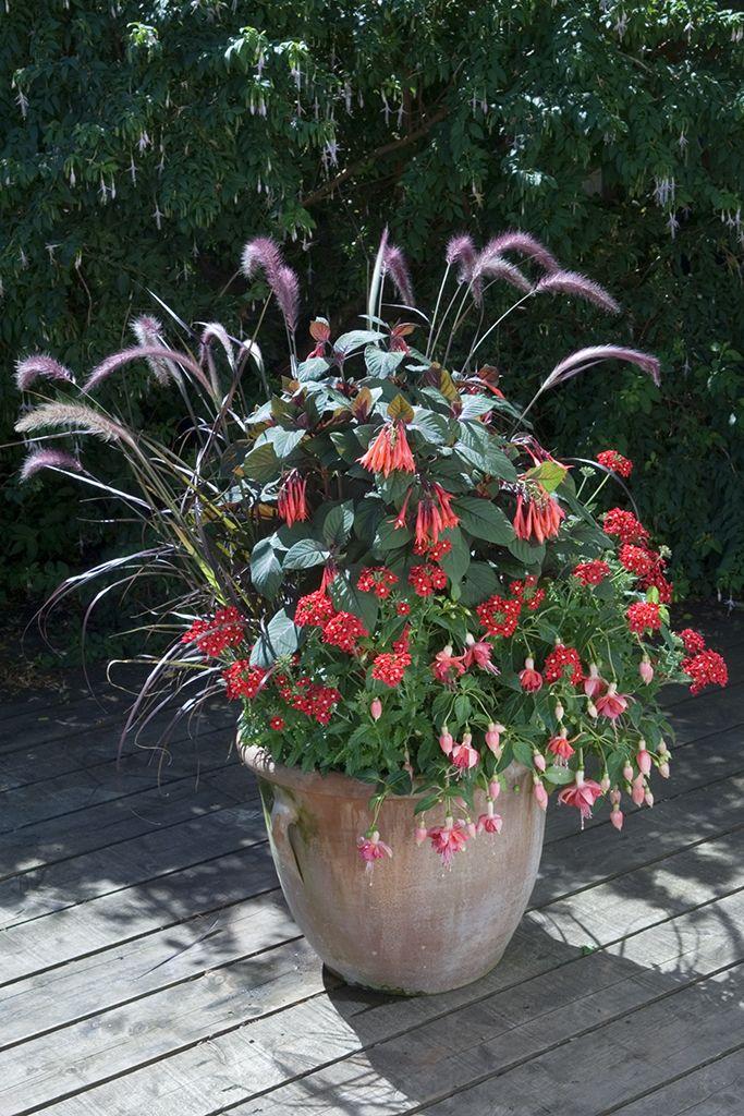 Lovely A Delightful Display Including Fuchsia U0027Garden Newsu0027, Pennisetum Setaceum  U0027Summer Sambau0027
