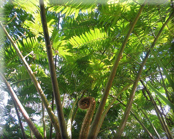 Arapito. Cyathea brownii