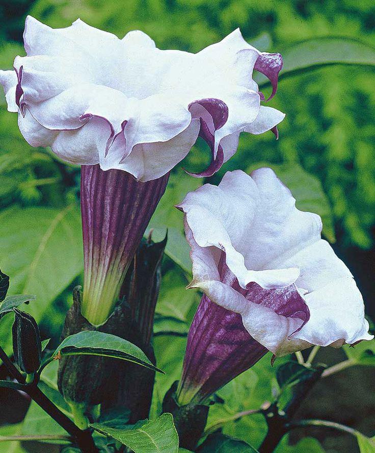 how to grow purple angel trumpet
