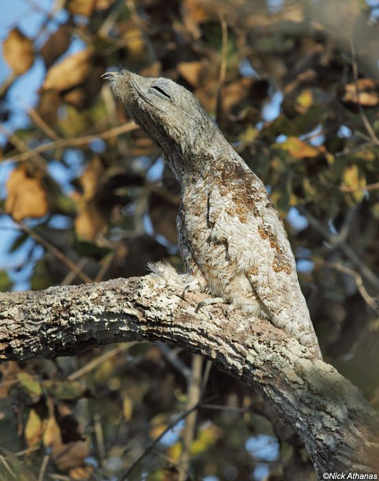 Great Potoo By night, a wide-eyed predatory bird (and chick). By day—piece of a tree. So clever!