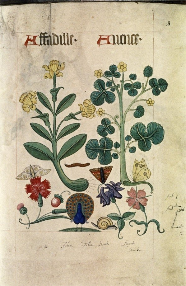 Tudor Herbal,1520 Thanks to the Bodleian Library. see also: http://www.bodleian.ox.ac.uk/bodley