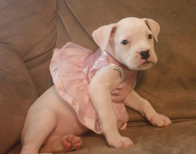White Boxer puppy all ready for Halloween. Parents came from Tejana Star