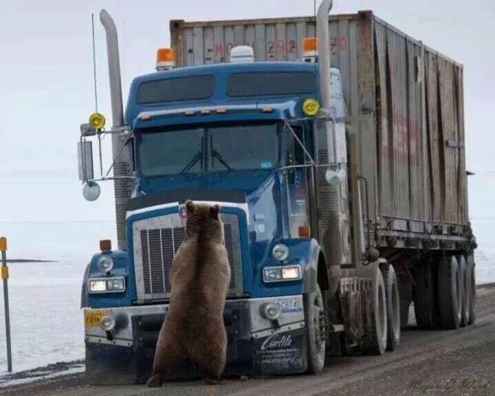 Grizzly vs Truck, Alaska