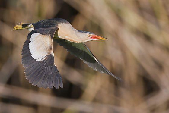 Male Little Bittern -Photo by Michael Southcott. Birdwatching in the danube Delta