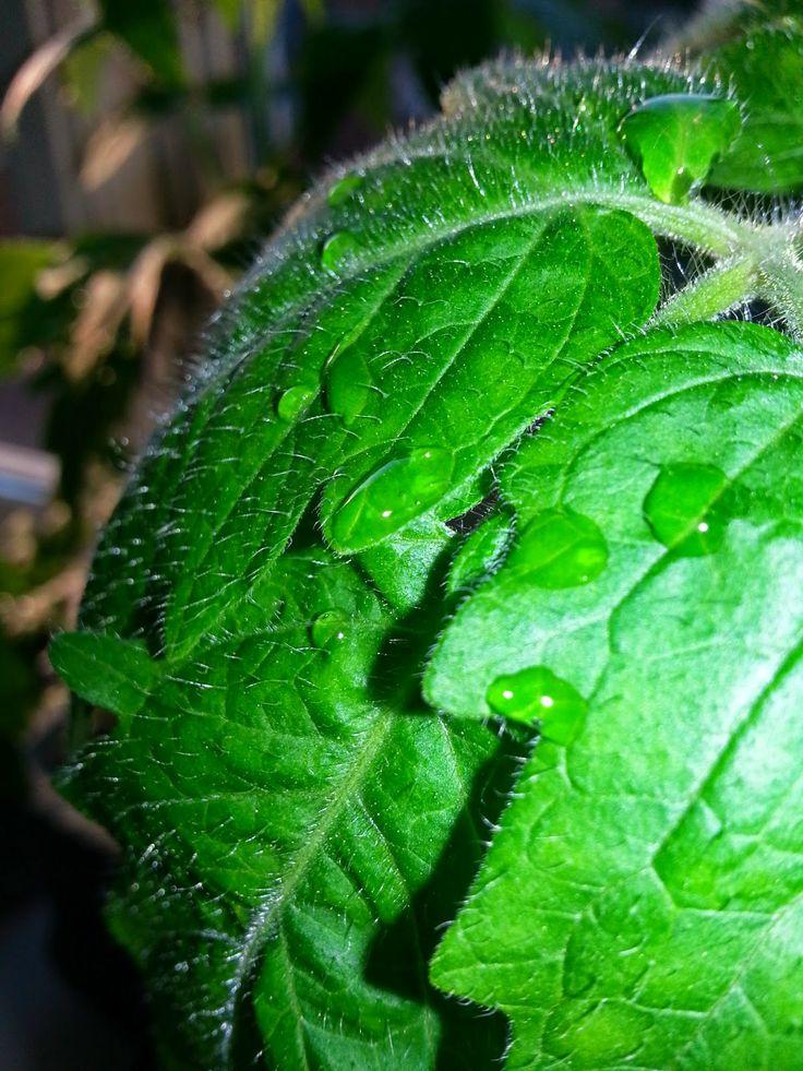 MollyRose'n'Honey: Tomater, vilde jordbær og et tip om Odd Molly