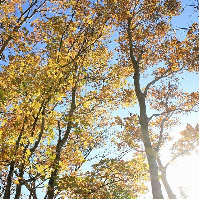 【haiirototoro】さんのInstagramをピンしています。 《〜おととしの寒露のころに 奈良県のどこかで〜 大台ヶ原の紅葉 ことしも もうすぐでみごろですね  #大台ヶ原 #大台ケ原 #oodaigahara #紅葉 #黄葉 #autumnleaves #fallcolors #autumncolors #fallleaves #青空 #bluesky #秋晴れ #森 #forest #オオイタヤメイゲツ #Acershirasawanum #Acer #maple #mapletree #ブナ #beech #beechtree #naturelovers #landscape #秋 #autumn #奈良 #nara #japan》