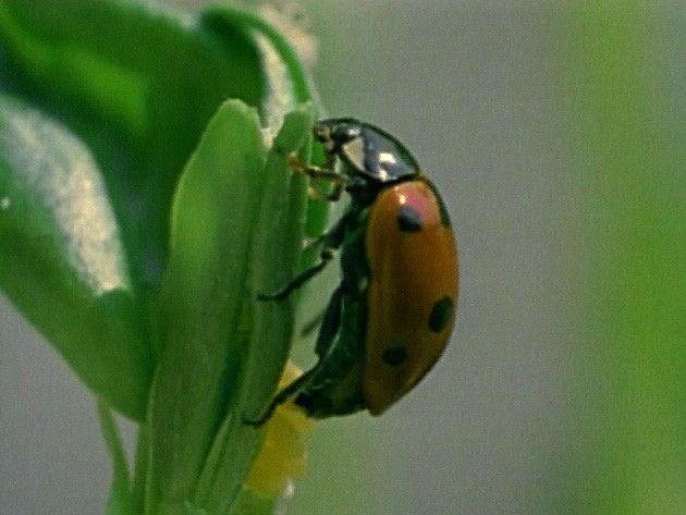 Lieveheersbeestjes worden in het voorjaar actief. Ze gaan paren en daarna leggen de vrouwtjes eitjes. Uit de eitjes komen larven, die van bladluizen leven. De larven groeien en vervellen. Tenslotte verpoppen ze zich. Uit de pop komt tenslotte een lieveheersbeestje.