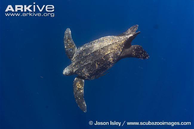 Leatherback turtle videos, photos and facts - Dermochelys coriacea | ARKive