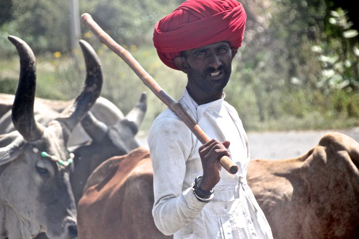 Northern India cattle herder in power turban Patricia Sheridan