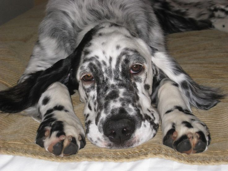 english setters puppies - Google Search