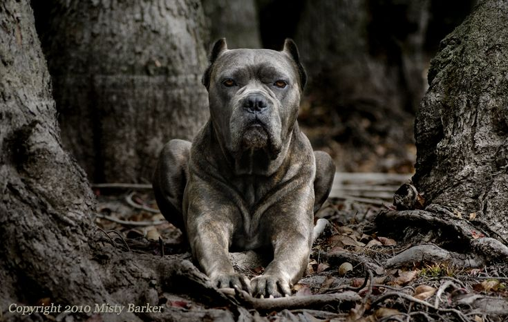 Cane Corso (Italian Mastiff).  Cool canines.  This shot makes it look a little like a gargoyle.