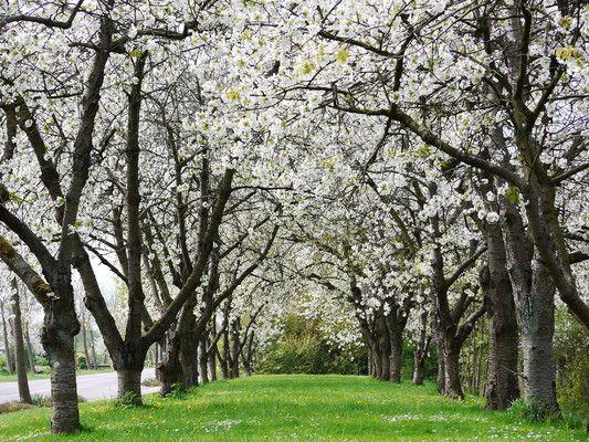 Kirschbaumblüte in Jork (Altes Land, Niedersachsen)