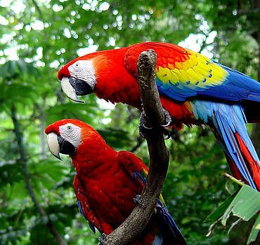 Aras sitzen auf einem ASt im Nationalpark Corcovado