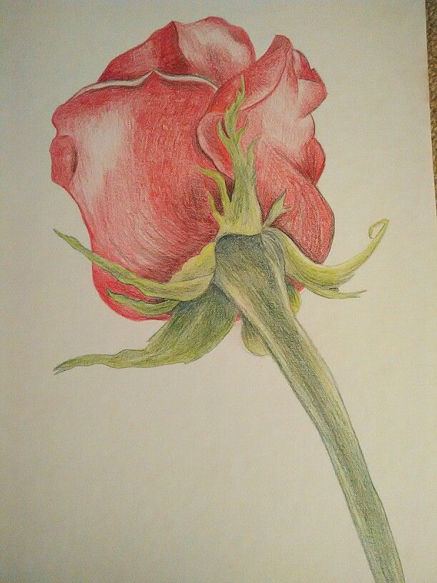Rose  #drawing #rose #akvarellepencil