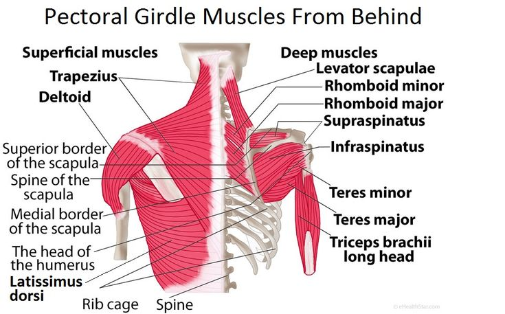 Shoulder Pectoral Girdle Muscles Diagram Functions