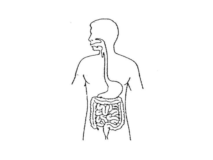 Unlabeled Digestive System Diagram . Unlabeled Digestive