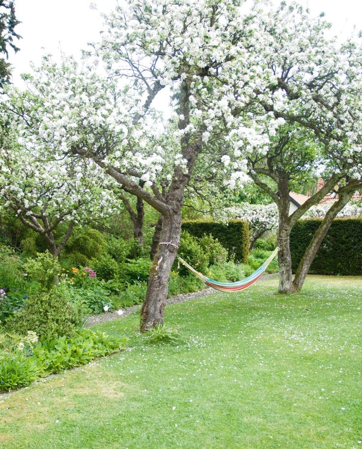 Arkitektens trädgård - gamla äppelträd