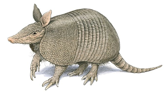 The Nine-Banded Armadillo - Texas Monthly