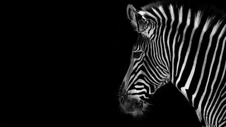 Скачать обои зебра, фон, цвет, раздел животные в разрешении 1600x900