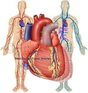 Anatomie Herz-Kreislaufsystem, Herz und arterieller venöser Blutkreislauf