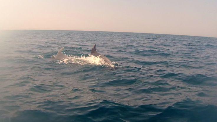 Delfini Castiglioncello Secche di Vada Livorno incontro avvistamento, Triangolo dei Cetacei, delfino, cuccioli, femmine, delfini