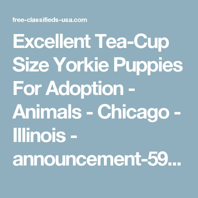 Excellent Tea-Cup Size Yorkie Puppies For Adoption - Animals - Chicago - Illinois - announcement-59756