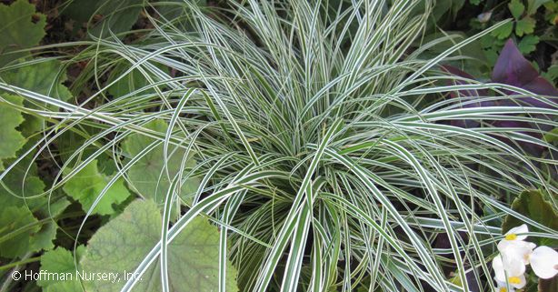 Carex oshimensis EverColor® Everest