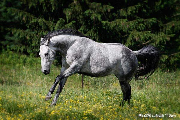 The Black Mane And Tail Really Sets Off The Dappled Gray